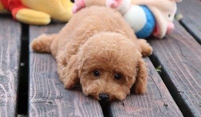 トイプードルの子犬(ID:1242811030)の1枚目の写真/更新日:2018-08-15