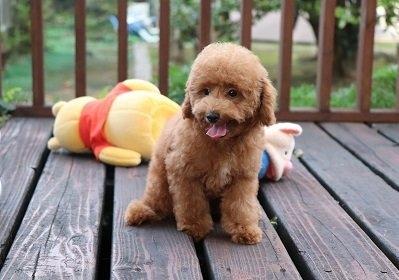 トイプードルの子犬(ID:1242811030)の2枚目の写真/更新日:2018-06-12