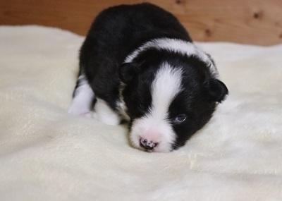 ボーダーコリーの子犬(ID:1242811043)の1枚目の写真/更新日:2017-04-03