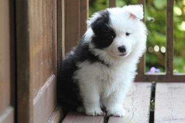 ボーダーコリーの子犬(ID:1242811046)の2枚目の写真/更新日:2017-05-20