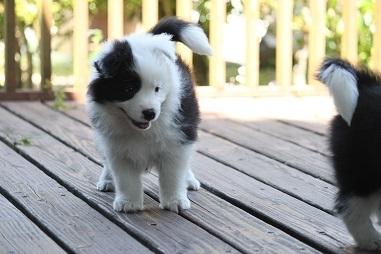 ボーダーコリーの子犬(ID:1242811046)の3枚目の写真/更新日:2017-05-20