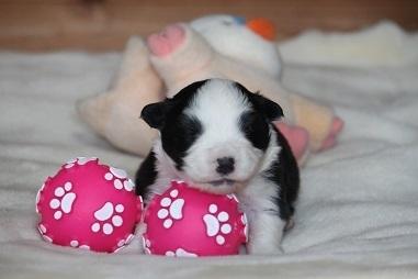 ボーダーコリーの子犬(ID:1242811047)の1枚目の写真/更新日:2017-04-16