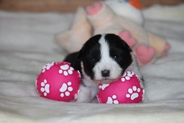 ボーダーコリーの子犬(ID:1242811048)の1枚目の写真/更新日:2017-04-16