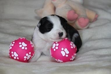 ボーダーコリーの子犬(ID:1242811049)の1枚目の写真/更新日:2017-04-16