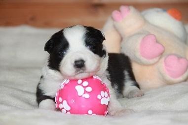 ボーダーコリーの子犬(ID:1242811050)の1枚目の写真/更新日:2017-04-16