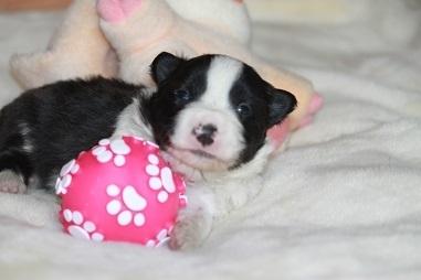 ボーダーコリーの子犬(ID:1242811051)の1枚目の写真/更新日:2017-04-16