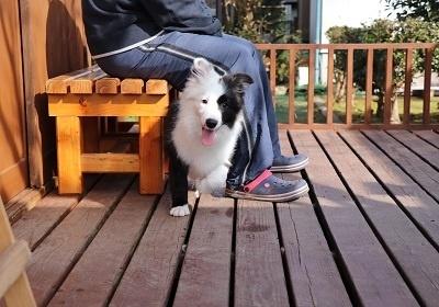 ボーダーコリーの子犬(ID:1242811055)の1枚目の写真/更新日:2017-12-29