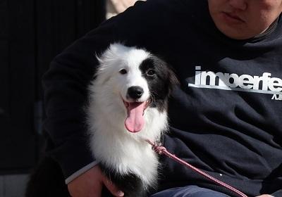 ボーダーコリーの子犬(ID:1242811055)の3枚目の写真/更新日:2017-12-29