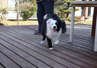 ボーダーコリーの子犬(ID:1242811055)の4枚目の写真/更新日:2017-12-29