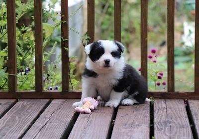 ボーダーコリーの子犬(ID:1242811056)の5枚目の写真/更新日:2017-10-10