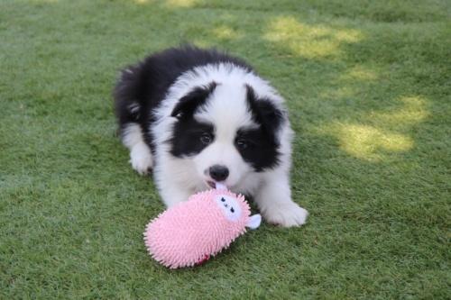 ボーダーコリーの子犬(ID:1242811057)の1枚目の写真/更新日:2017-10-10