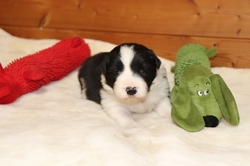 ボーダーコリーの子犬(ID:1242811057)の2枚目の写真/更新日:2017-10-10