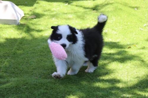 ボーダーコリーの子犬(ID:1242811057)の3枚目の写真/更新日:2017-10-10