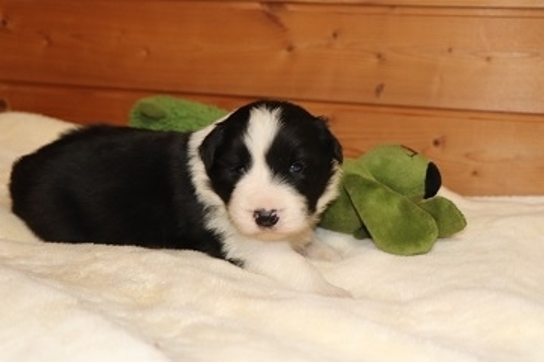 ボーダーコリーの子犬(ID:1242811057)の4枚目の写真/更新日:2017-10-10