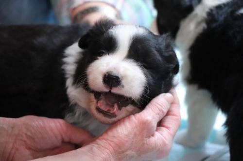 ボーダーコリーの子犬(ID:1242811058)の1枚目の写真/更新日:2017-10-10