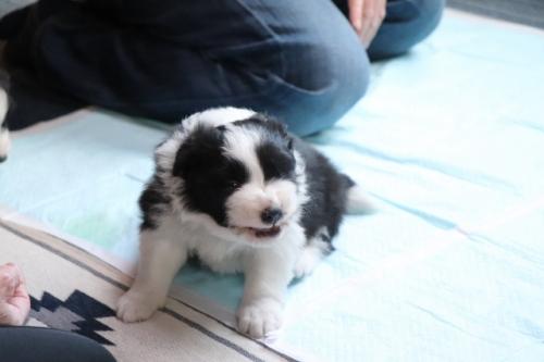 ボーダーコリーの子犬(ID:1242811058)の2枚目の写真/更新日:2017-10-10