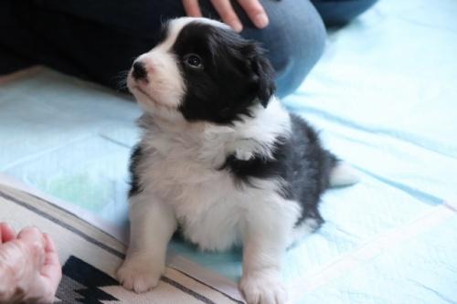 ボーダーコリーの子犬(ID:1242811058)の3枚目の写真/更新日:2017-10-10