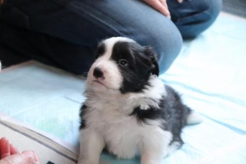 ボーダーコリーの子犬(ID:1242811058)の4枚目の写真/更新日:2017-10-10