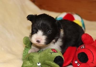 ボーダーコリーの子犬(ID:1242811061)の1枚目の写真/更新日:2017-12-11
