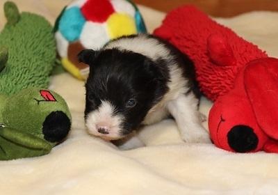 ボーダーコリーの子犬(ID:1242811061)の2枚目の写真/更新日:2017-12-11