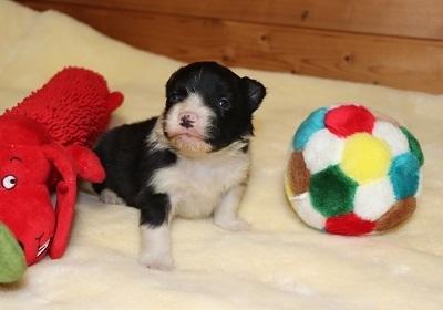 ボーダーコリーの子犬(ID:1242811061)の3枚目の写真/更新日:2017-12-11