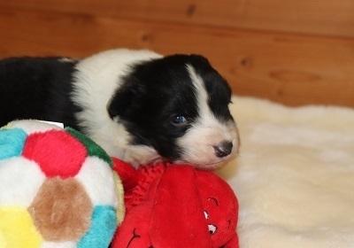 ボーダーコリーの子犬(ID:1242811062)の1枚目の写真/更新日:2017-12-11