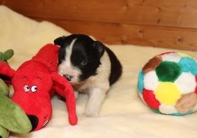ボーダーコリーの子犬(ID:1242811062)の2枚目の写真/更新日:2017-12-11