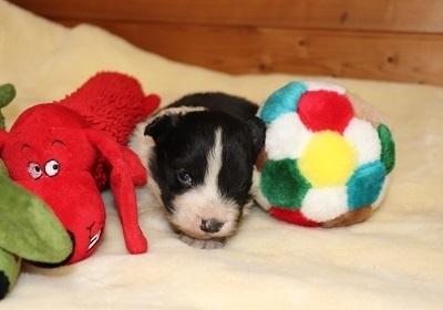 ボーダーコリーの子犬(ID:1242811062)の3枚目の写真/更新日:2017-12-11