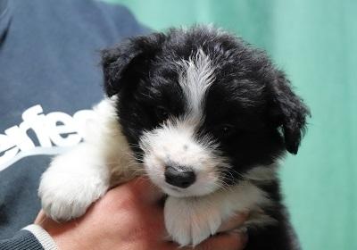 ボーダーコリーの子犬(ID:1242811063)の1枚目の写真/更新日:2017-12-29