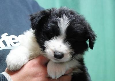 ボーダーコリーの子犬(ID:1242811063)の3枚目の写真/更新日:2017-12-29