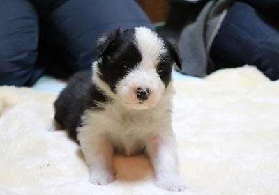 ボーダーコリーの子犬(ID:1242811064)の1枚目の写真/更新日:2017-12-29