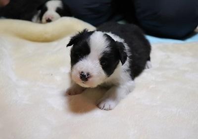 ボーダーコリーの子犬(ID:1242811064)の2枚目の写真/更新日:2017-12-29