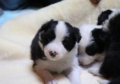 ボーダーコリーの子犬(ID:1242811064)の4枚目の写真/更新日:2017-12-29
