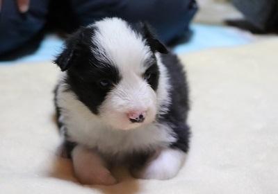 ボーダーコリーの子犬(ID:1242811065)の1枚目の写真/更新日:2017-12-29