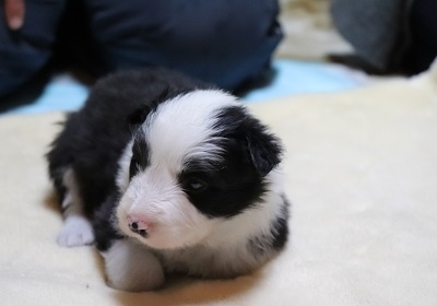 ボーダーコリーの子犬(ID:1242811065)の2枚目の写真/更新日:2017-12-29