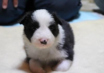 ボーダーコリーの子犬(ID:1242811065)の3枚目の写真/更新日:2017-12-29