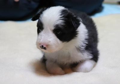 ボーダーコリーの子犬(ID:1242811065)の4枚目の写真/更新日:2017-12-29