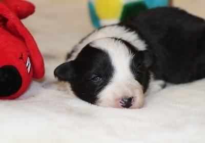 ボーダーコリーの子犬(ID:1242811066)の1枚目の写真/更新日:2017-12-15