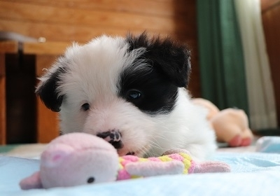 ボーダーコリーの子犬(ID:1242811067)の1枚目の写真/更新日:2018-01-12
