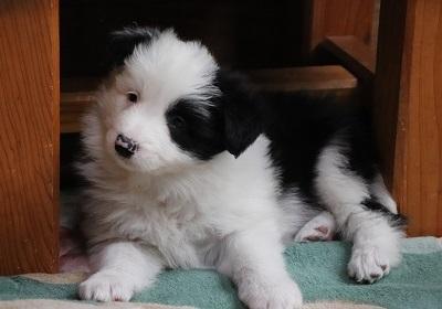 ボーダーコリーの子犬(ID:1242811067)の3枚目の写真/更新日:2018-01-12