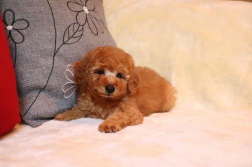 トイプードルの子犬(ID:1242811068)の1枚目の写真/更新日:2018-01-22