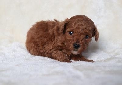トイプードルの子犬(ID:1242811069)の1枚目の写真/更新日:2018-01-22