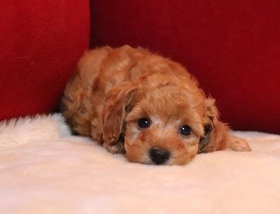 トイプードルの子犬(ID:1242811070)の1枚目の写真/更新日:2018-02-05