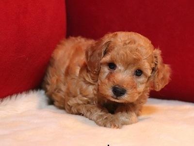 トイプードルの子犬(ID:1242811070)の2枚目の写真/更新日:2018-02-05