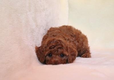 トイプードルの子犬(ID:1242811071)の1枚目の写真/更新日:2018-02-19