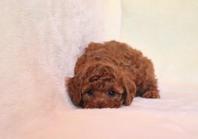 トイプードルの子犬(ID:1242811071)の2枚目の写真/更新日:2018-02-19
