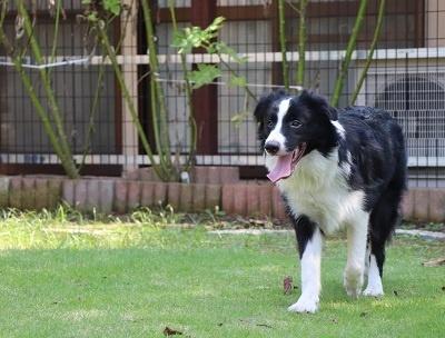 ボーダーコリーの子犬(ID:1242811074)の2枚目の写真/更新日:2019-06-10