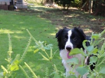 ボーダーコリーの子犬(ID:1242811074)の3枚目の写真/更新日:2019-10-04