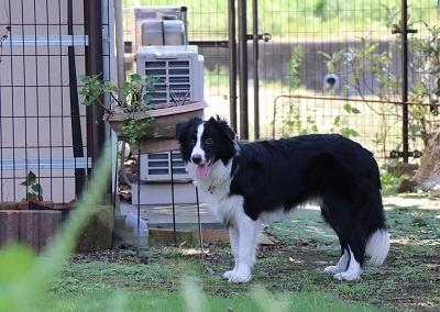ボーダーコリーの子犬(ID:1242811074)の4枚目の写真/更新日:2019-10-04