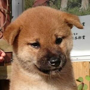柴犬の子犬(ID:1243111001)の1枚目の写真/更新日:2018-09-13